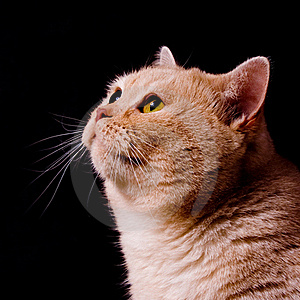 Pensive Cat Royalty Free Stock Images - Image: 16080329