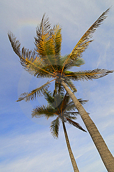 Coconut Palm Trees Royalty Free Stock Photo - Image: 16080615