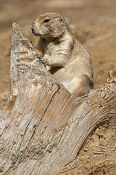 Prairie Dog Royalty Free Stock Photo - Image: 16080625