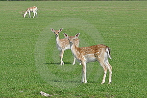 Deers Stock Photos - Image: 16082693