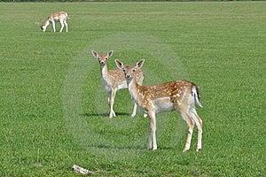 Deers Stock Photos - Image: 16082693