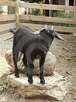 Black Goat Stock Photography - Image: 16083562