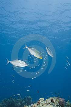 Small Group Of Yellow-dotted Trevally. Stock Photos - Image: 16093223