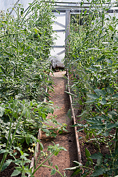 Tomato Plants In Greenhouse Stock Image - Image: 16095381