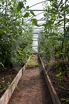 Tomato Plants In Greenhouse Stock Photography - Image: 16095422