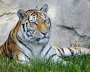 Amur Tiger Stock Photos - Image: 16096013