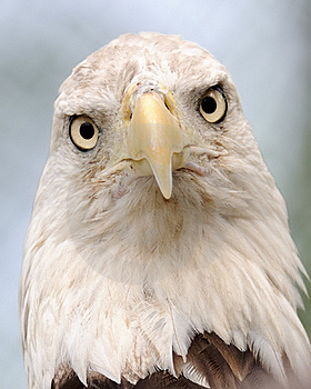Bald Eagle Royalty Free Stock Photography - Image: 16096037