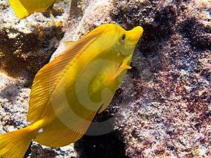 Yellow Tang Stock Image - Image: 16098561