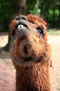Lama Royalty Free Stock Photography - Image: 1611057