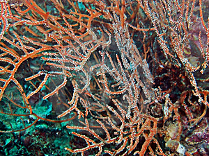 Whip Coral Species Stock Image - Image: 1615321