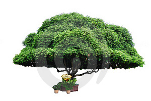 Bullet Wood Tree Stock Photo - Image: 16100270