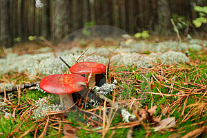 Edible Russula Mushrooms Royalty Free Stock Photo - Image: 16102555