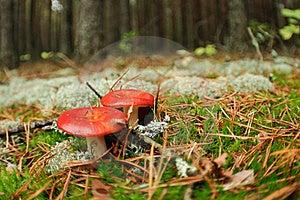 Edible Russula Mushrooms Royalty Free Stock Photo - Image: 16102555