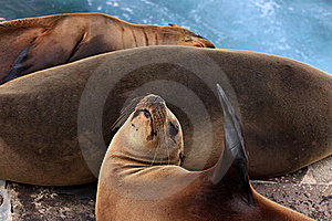Three Sea Lions Royalty Free Stock Photo - Image: 16102785