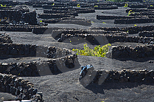 La Geria - Vineyard Region Of Lanzarote Stock Photo - Image: 16114660