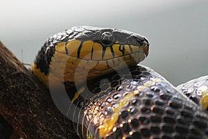 Serpente Amarela E Preta Da Cobra Foto de Stock Royalty Free - Imagem: 16115605