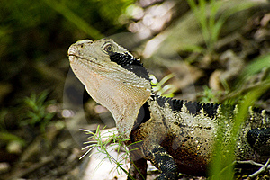 Beauty As A Lizard Royalty Free Stock Photos - Image: 16116408
