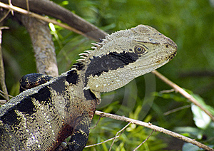 Beauty As A Lizard Royalty Free Stock Images - Image: 16116459