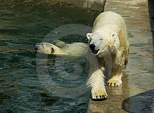 Polar Bears Royalty Free Stock Photography - Image: 16117417