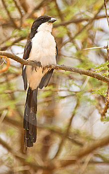 Long-tailed Fiscal Stock Images - Image: 16119974