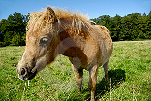 Foal Eating Royalty Free Stock Image - Image: 16147816