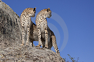 Two Cheetahs On A Rock Stock Image - Image: 16152181