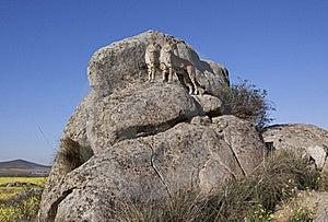Cheetahs On A Big Rock Royalty Free Stock Photography - Image: 16152517