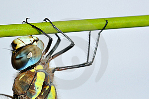 Aeshna Mixta Dragonfly On Green Stalk Royalty Free Stock Photo - Image: 16155085