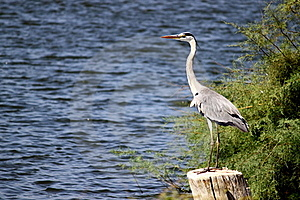 Grey Heron Stock Photos - Image: 16155993