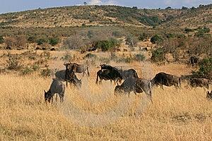 Kenya's Maasai Mara Animal Migration Royalty Free Stock Photo - Image: 16158145