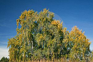 Birch With Yellowed Leaves Stock Photos - Image: 16158433