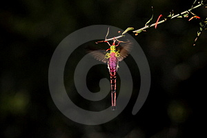 Long-tailed Hummingbird Stock Photos - Image: 16162293