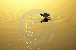 Wading Bird In Lake At Sunset Royalty Free Stock Photo - Image: 16164495