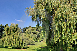Weeping Willows Stock Photo - Image: 16166710