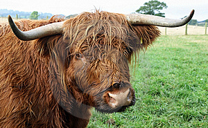 Highland Cow Royalty Free Stock Images - Image: 16168179