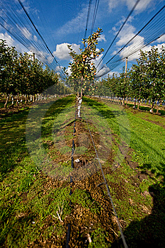 Apple Orchard Royalty Free Stock Photo - Image: 16168795