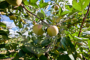 Apple Orchard Royalty Free Stock Photos - Image: 16168808