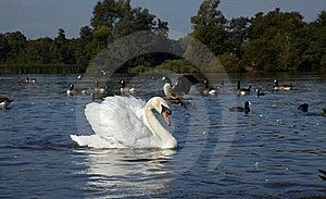 Wild Birds In A Lake Stock Photos - Image: 16169093