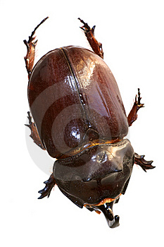 Rhinoceros Beetle From On High Stock Image - Image: 16173521