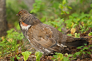 Franklin's Spruce Grouse Stock Photography - Image: 16193282