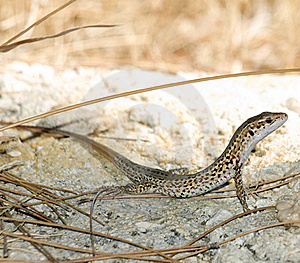Lizard Royalty Free Stock Photo - Image: 16195775