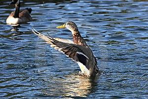 Mallard Duck Stock Photo - Image: 16196330