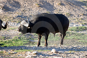 Buffalo Stock Images - Image: 1620724