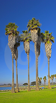 Tall Palms Royalty Free Stock Photos - Image: 1628098