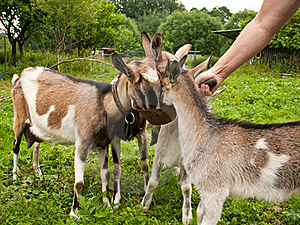 Goats Royalty Free Stock Photo - Image: 16201365