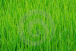 Detail Of Rice Field In Thailand. Stock Photo - Image: 16202070
