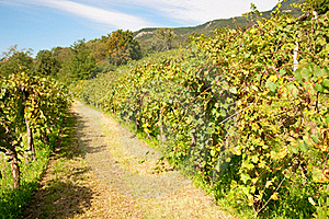 Vineyard In Autumn Stock Images - Image: 16202624