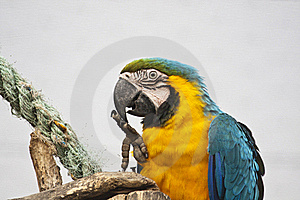 Blue-and-yellow Macaw Stock Photo - Image: 16202740