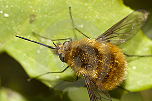 Bombylius Major Stock Photos - Image: 16205503
