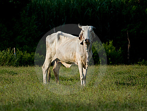 Asian Cow Stock Photo - Image: 16206610